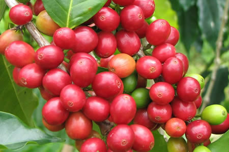 colombian coffee red fruits