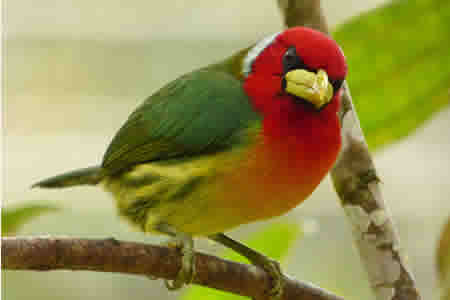 res green bird watching